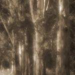 Eucalyptus Row by Judy Buckley-Sharp